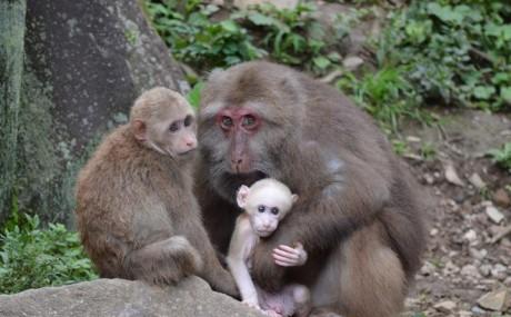 YeHong-Tibetan Macaque