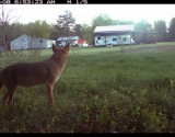 Coyote Near House (IMAGE)